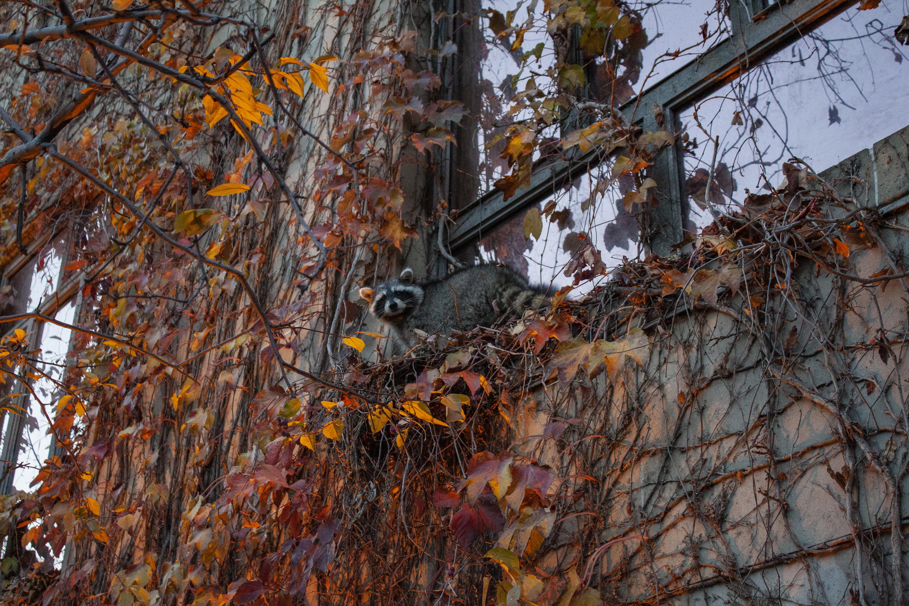 A raccoon attempts to climb Ryerson University's Kerr Hall South in Toronto on Nov. 11, 2010. (Steve Silva)